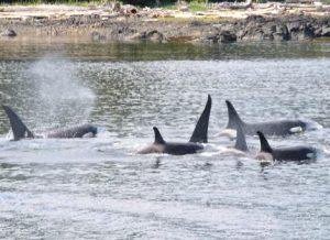 Orca Killer Whale Alaska yacht charter njcharters.com