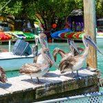 Pelicans in Florida